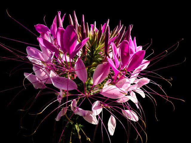 アマランサス 花