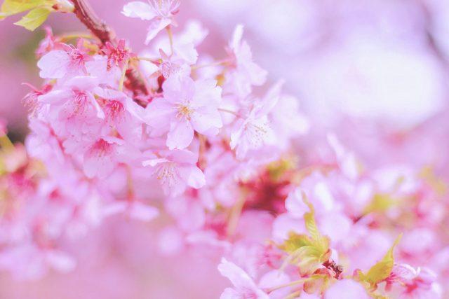 桜 お花見