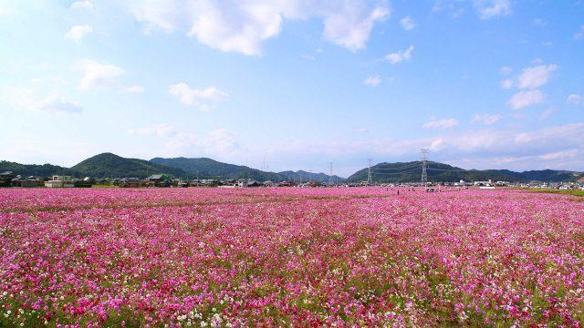 志方町のコスモス畑