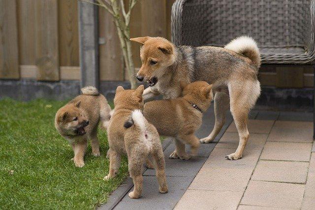 柴犬の子供